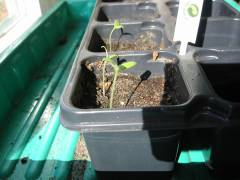 Tomatenpflanzen wachsen lassen