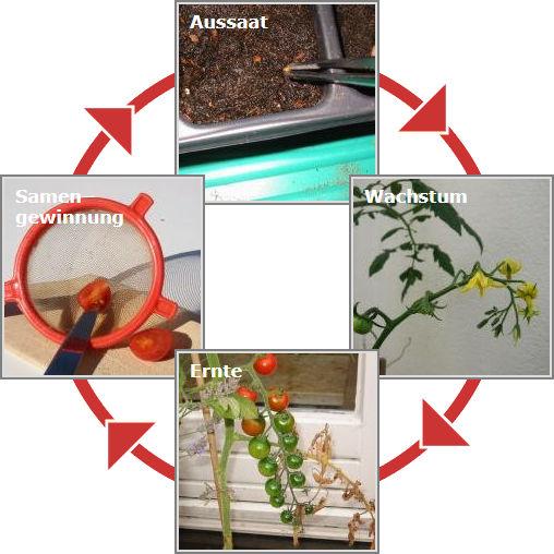 Kreislauf der Tomatenzucht: Aussaat - Wachstum - Ernte - Samengewinnung